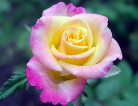 распустившаяся роза